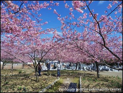 河津桜 (9)