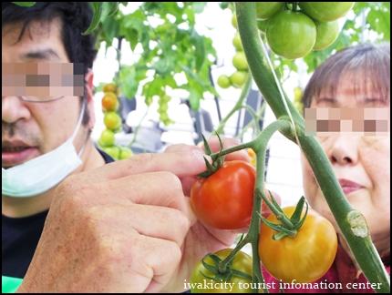 トマトのもぎ方