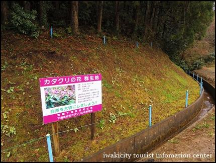 長徳寺のカタクリ (1)