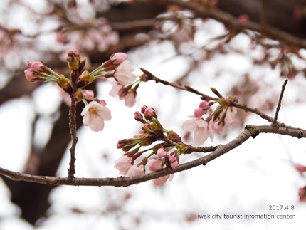 松ヶ岡公園のソメイヨシノ [平成29年4月8日(土)更新]21