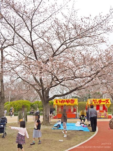 松ヶ岡公園のソメイヨシノ [平成29年4月8日(土)更新]23