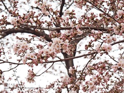 松ヶ岡公園のソメイヨシノ [平成29年4月8日(土)更新]24