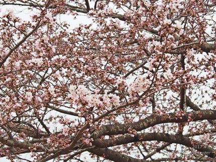 松ヶ岡公園のソメイヨシノ [平成29年4月8日(土)更新]25