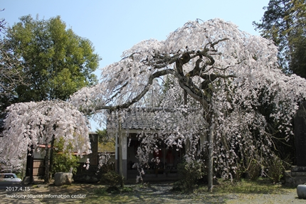 《いわき市桜開花情報》能満寺のシダレザクラ [平成29年4月15日(土)開催]2