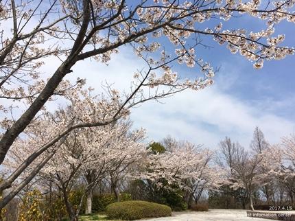 県立いわき公園の桜 [平成29年4月15日(土)開催]2