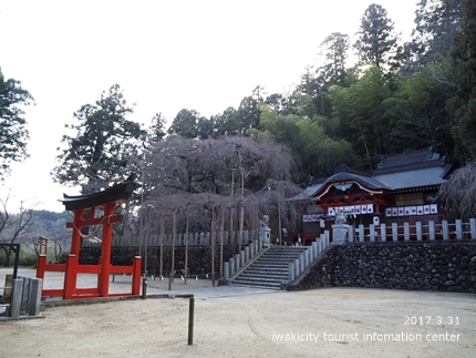 小川諏訪神社のシダレザクラ [平成29年3月31日(金)更新]3