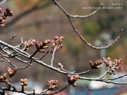 松ヶ岡公園のソメイヨシノ [平成29年4月3日(月)更新]3
