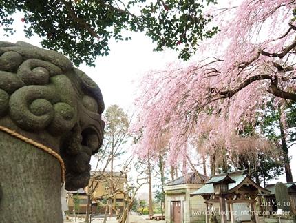 三島八幡神社のシダレザクラ [平成29年4月10日(月)更新]3