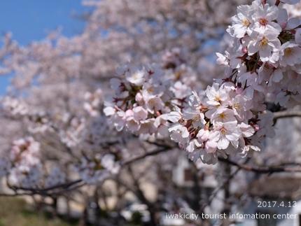 夏井川沿いのソメイヨシノ[平成29年4月13日(木)更新]3