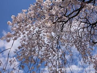 大運寺のシダレザクラ[平成29年4月13日(木)更新]3