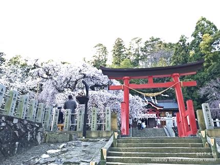 小川諏訪神社のシダレザクラ ライトアップ![平成29年4月14日(金)更新]3