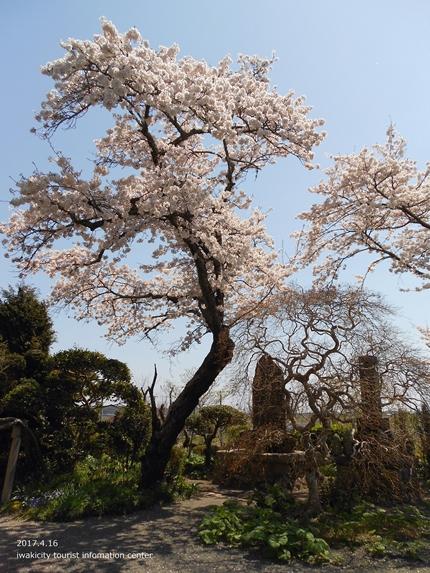 《桜開花状況》四倉地区の桜 [平成29年4月16日(日)更新]3