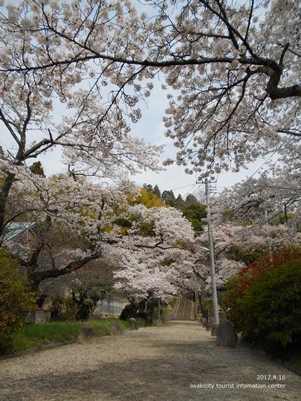 《桜開花状況》四倉地区の桜 [平成29年4月16日(日)更新]10