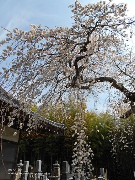 《桜開花状況》四倉地区の桜 [平成29年4月16日(日)更新]16