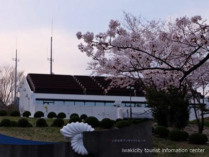 久之浜地区の桜 [平成29年4月18日(火)更新]3