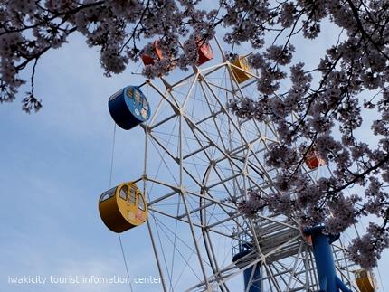 《桜開花状況》久之浜地区の桜 [平成29年4月18日(火)更新]10