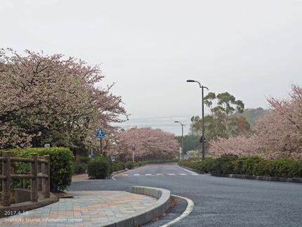 《いわき市桜開花情報》三崎公園のソメイヨシノ [平成29年4月19日(水)更新]3