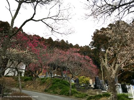 梅林寺のウメ [平成29年3月6日(月)更新]3