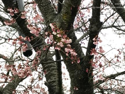 国宝白水阿弥陀堂のヒガンザクラ [平成29年3月6日(月)更新]3