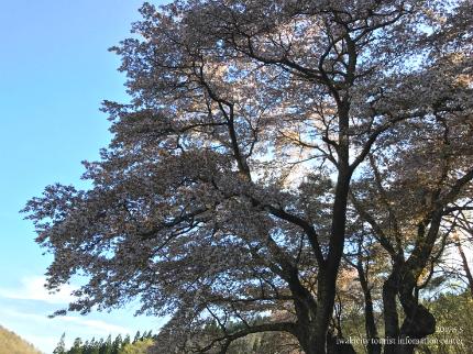 新田の大山桜3