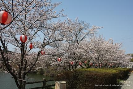 上湯長谷公園のソメイヨシノ [平成29年4月15日(土)開催]3