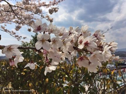 県立いわき公園の桜 [平成29年4月15日(土)開催]3