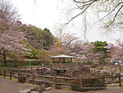 松ヶ岡公園のソメイヨシノ [平成29年4月8日(土)更新]4