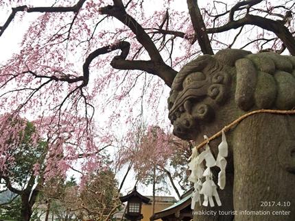 三島八幡神社のシダレザクラ [平成29年4月10日(月)更新]4