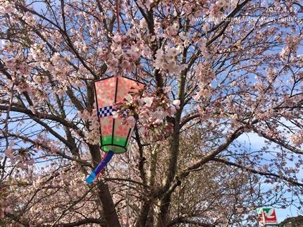 《いわき市桜開花情報》鹿島千本桜 [平成29年4月12日(水)更新]4
