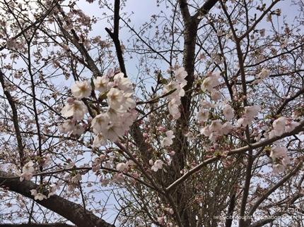 御幸山公園・観音山公園のソメイヨシノ [平成29年4月12日(水)更新]4