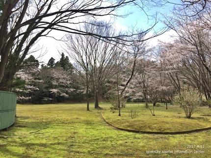 御幸山公園・観音山公園のソメイヨシノ [平成29年4月12日(水)更新]2-4