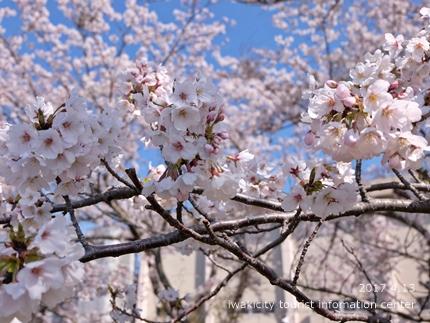 夏井川沿いのソメイヨシノ[平成29年4月13日(木)更新]4