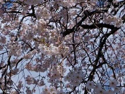 大運寺のシダレザクラ[平成29年4月13日(木)更新]4