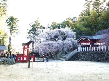 小川諏訪神社のシダレザクラ ライトアップ![平成29年4月14日(金)更新]4