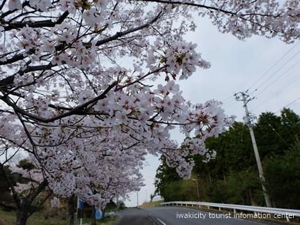 久之浜地区の桜 [平成29年4月18日(火)更新]4