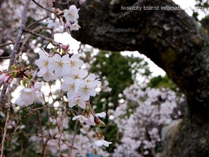 《桜開花状況》久之浜地区の桜 [平成29年4月18日(火)更新]7