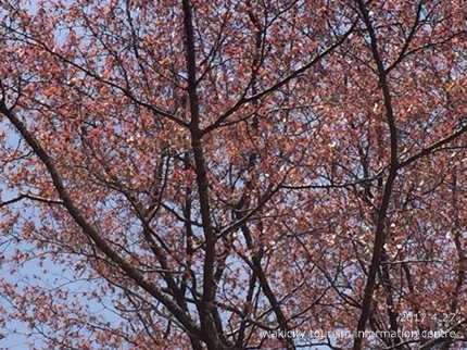 新田の大山桜 [平成29年4月27日(木)更新]3