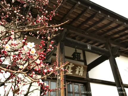 梅林寺のウメ [平成29年3月6日(月)更新]4