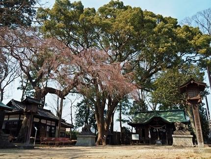 三島八幡神社のシダレザクラ [平成29年4月5日(水)更新]5