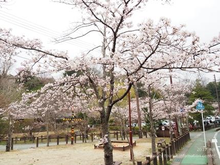 松ヶ岡公園のソメイヨシノ [平成29年4月8日(土)更新]5