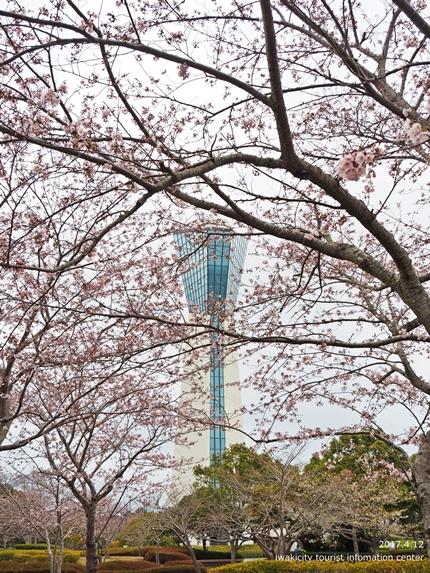 三崎公園のソメイヨシノ [平成29年4月12日(水)更新]5