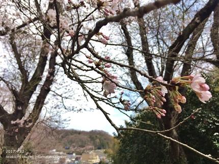 御幸山公園・観音山公園のソメイヨシノ [平成29年4月12日(水)更新]2-5