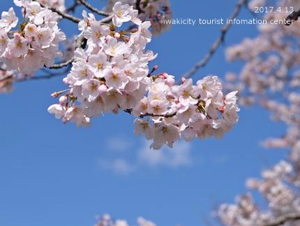 夏井川沿いのソメイヨシノ[平成29年4月13日(木)更新]5