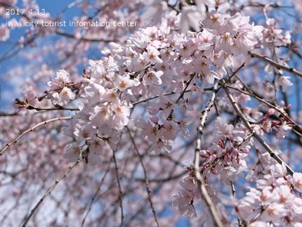 住善寺のシダレザクラ[平成29年4月13日(木)更新]5