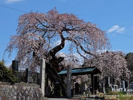 大運寺のシダレザクラ[平成29年4月13日(木)更新]5