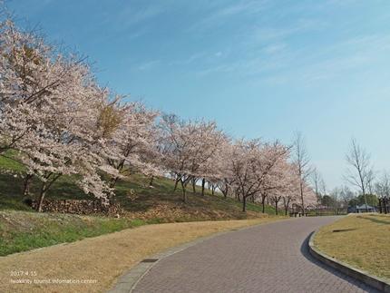 21世紀の森公園の桜 [平成29年4月16日(日)開催]5