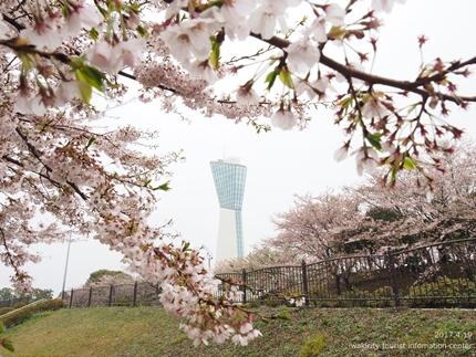 《いわき市桜開花情報》三崎公園のソメイヨシノ [平成29年4月19日(水)更新]5
