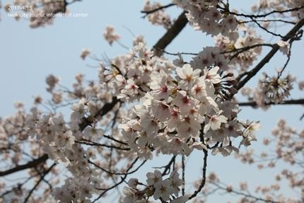 《いわき市桜開花情報》長谷寺のソメイヨシノ [平成29年4月15日(土)開催]5