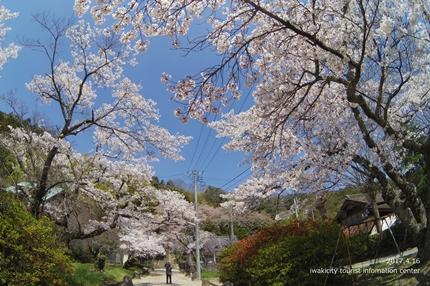 《桜開花状況》四倉地区の桜 [平成29年4月16日(日)更新]12