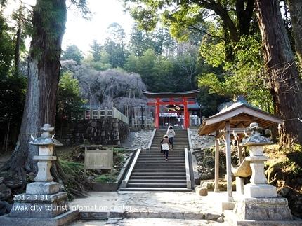 小川諏訪神社のシダレザクラ [平成29年3月31日(金)更新]6